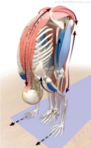 Uttanasana et anatomie